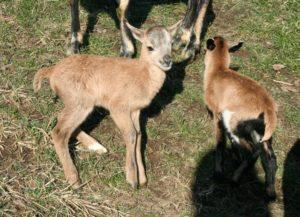 Jehňata hnědých kamerunskýh ovcí