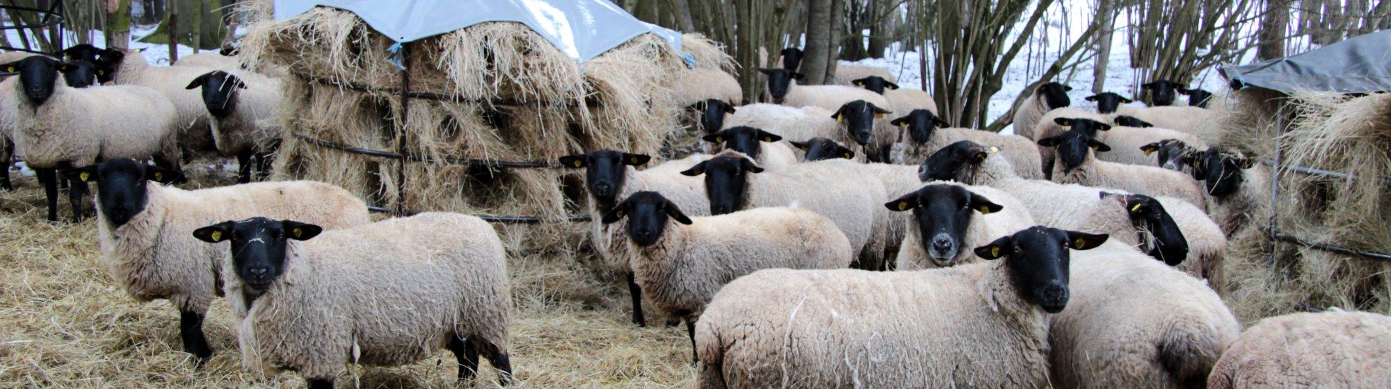 Ovce plemene suffolk