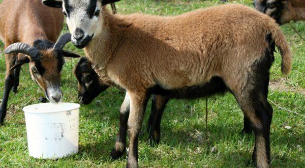 Kamerunská hnědá ovce