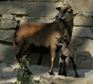 Kamerunská ovce s jehňetem