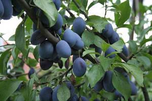 Řez ovocných dřevin (2021 ZRUŠENO)